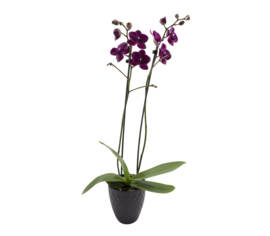 Orchidée (grande) avec pot de collection anthracite